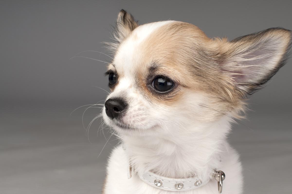 Gebitsverzorging voor honden. Chihuahua je lief hondje met een gezond gebit.
