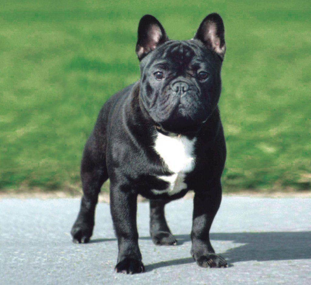 Gebitsverzorging voor honden. Je Franse Bulldog met een gezond gebit door een goede verzorging.
