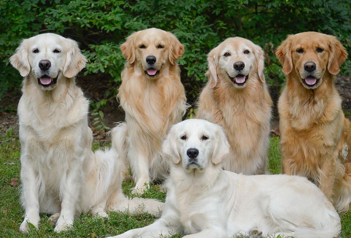 Gebitsverzorging voor honden. Golden Retriever