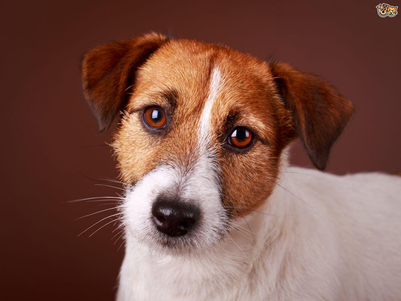 Gebitsverzorging voor honden. Je Jack Russell met mooie witte tande door een goede gebitsverzorging;