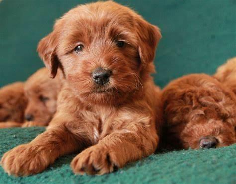 Gebitsverzorging voor honden. Gebitsverzorging voor je Labradoodle hond van groot belang ook voor zijn gedrag.