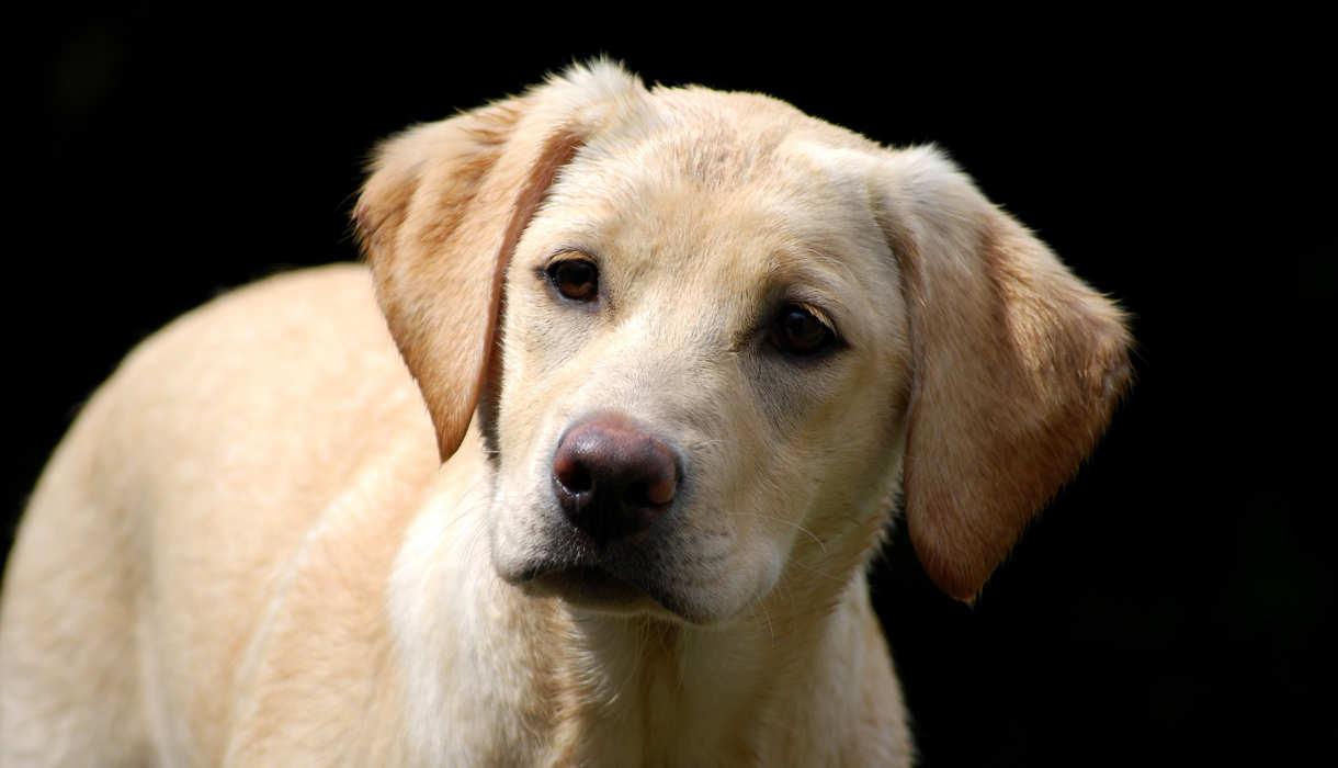 Gebitsverzorging voor honden. Een gezond gebit voor je Labrador.