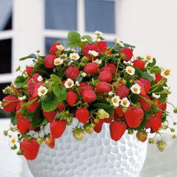 Aardbeien potplanten