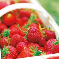 Aardbeien Professionele wortelzaailingen